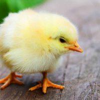 Η εταιρεία Αγγελάκης Α.Ε. αναζητά για συνεργασία παραγωγούς με ιδιόκτητες μονάδες εκτροφής κοτόπουλου